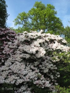 These are the largest rhododendron we have ever seen.