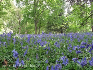 English Bluebells carpeted the forest floor.