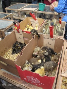 We almost ended up with a couple of fluffy little ducklings.