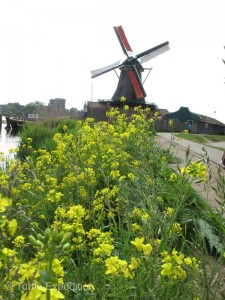 Flowers in Holland in the Spring are not limited to tulips.