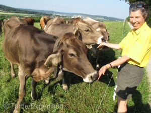 Salty hands can be a treat for the friendly Swiss cows.