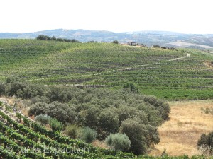 The scenic secondary road through the wine region wound through miles of vineyards and the occasional olive grove.