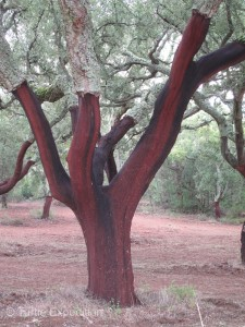 Once the cork is harvested or peeled from the tree; it will rest for 9 years before it can be harvested again.