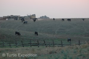 In the evening we camped on a side road and watched a small herd of bulls lazily grazing in the pasture.
