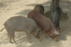 These cute pigs will munch on acorns in the fall and end up as some of the most expensive and delicious ham in the world.