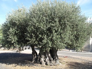 Rescued from a flooded valley of the new dam and lake on the Portuguese/Spanish border, this olive tree was over 300 years old.