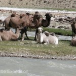 We spotted this small family of camels and wondered if they had retired from carrying silk and spices.