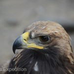 The Golden Eagle is a beautiful master bird of prey. They can reach over 16 lbs. with wingspans exceeding 8 feet.