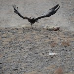 Golden Eagle Fest Part 2 Mongolia 030