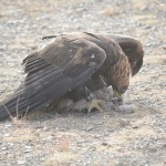 Golden Eagle Fest Part 2 Mongolia 038