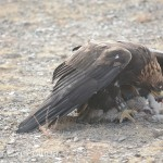 Golden Eagle Fest Part 2 Mongolia 039