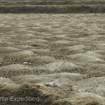 Once the annual crop of rice has been harvested the straw is carefully dried and bundled in the fields.