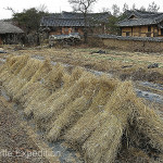 The rice straw is bundled and dries in the fields.