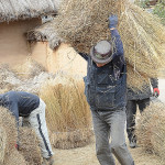 Several men were working together to process the rice straw bundles into sticked mats.