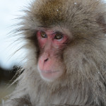 Snow Monkeys Japan 6 14