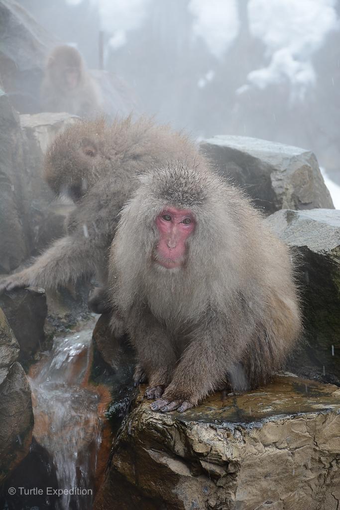 monkeys Red bottom
