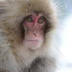 Snow Monkeys Japan 6 17