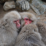 When they are not in the hot springs or feeding, the Japanese Macaques huddle together to stay warm.