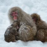 Snow Monkeys Japan 6 23
