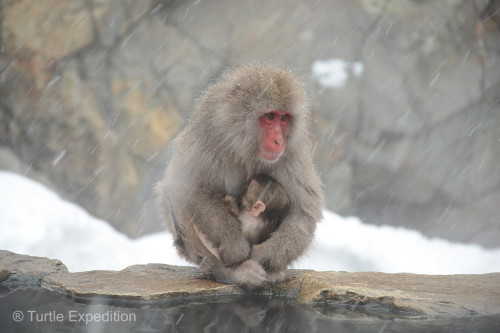 We loved watching the baby snow monkeys cuddling and nursing.
