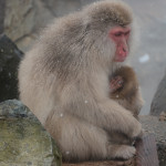 Snow Monkeys Japan 6 29