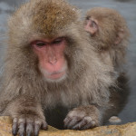Snow monkey babies often hitch a ride on the back of their mothers.