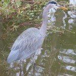Most of the wild life in the park was very accustomed to humans so a telephoto lens was not necessary for this gray heron.