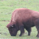 We came upon a small herd of bison, another unexpected site in Golden Gate Park.