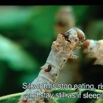 From time to time, the silkworm caterpillar stops eating and seems to sleep.