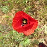 Poppies seem to pop up anywhere in the world. Maybe that's why they are called popp-ies?!