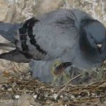 In the coolness of the crypt, a mother pigeon keeps her young chick warm, and life goes on.