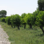 Roadsides were lined with mulberry trees to provided food for the all-important silkworms.
