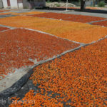 Villages were drying apricots, a delicious specialty of the region.