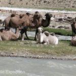 We wondered if these camels were descendants from the caravans that once passed through this corridor. They were sitting in no-man's land on an island in the Pamir River dividing Tajikistan and Afghanistan.