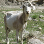 This goat gave us a nod of approval but we were looking for its cousins, the famous Marco Polo Bighorn Sheep.