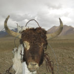 Looks like this yak didn't make it across the road.