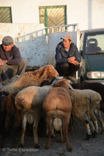 This local Kyrgyz was patiently waiting for someone to buy one of his fat tail sheep.