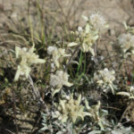 It was amazing to discover Edelweiss in Central Asia. It's the revered flower of Swiss climbers.