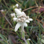 Always a flower somewhere, this Edelweiss was waiting for Monika.