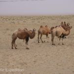 Wild camels roamed close to the road. Their ancestors once caravanned along the Silk Road.