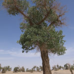 The Euphrates Poplar or Desert Poplar (Populus Euphratica) are the oldest poplars in the world.