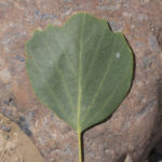 This is an Euphrates Poplar leaf.