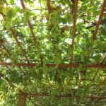 The grapes on the trellis along the walkways were tempting.