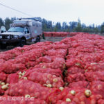 Rain overnight intensified the onion smell in the air.