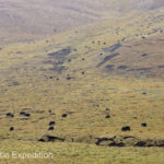 As we climbed higher herds of yaks grazed on the grassy hillsides.