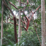 "This red barked tree was our favorite. No wonder, it is called ""Tourist Tree"" or Gumbo Limbo (Bursera simaruba)"
