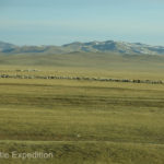 Large herds of sheep grazed near their owners' yurts. Mongolia is still a nomadic culture.