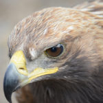 The Golden Eagle is one of the largest, fastest, nimblest raptors in the world. Lustrous gold feathers gleam on the back of its head and neck; a powerful beak and talons advertise its hunting prowess. The Golden Eagle has long inspired both reverence and fear.