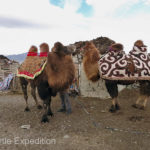 Our camels arrived in full dress except for thicker pads and a saddle.