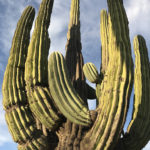 The Giant Cardón flourish in the harsh Baja deserts.